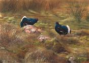 Two Male Black Grouse