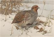 English Partridge Foraging in Snow